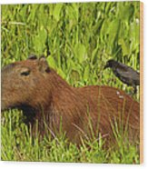 Capybara And Smooth Billed Ani Wood Print