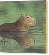 Capybara Wading Pantanal Brazil Wood Print