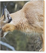 Caracal About To Jump Wood Print