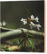 Cardamine Concatenata Cutleaf Toothwort Wood Print