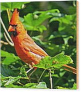 Cardinal 119 Wood Print