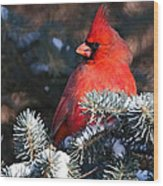 Cardinal And Evergreen Wood Print