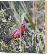 Cardinal In Bush Iv Wood Print