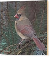 Cardinal In Spruce Wood Print by John Kunze