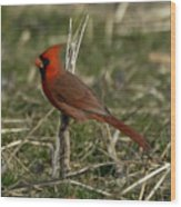 Cardinal In The Field Wood Print