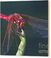 Cardinal Meadowhawk Dragonfly Wood Print