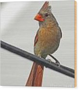 Cardinal Young Female Wood Print