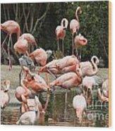 Caribbean Flamingos - Phoenicopterus Ruber Ruber Wood Print