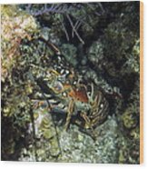 Caribbean Reef Lobster On Night Dive Wood Print