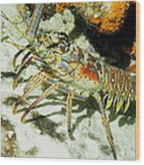 Caribbean Spiny Reef Lobster  Wood Print