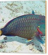 Caribbean Stoplight Parrot Fish In Rainbow Colors Wood Print
