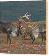 Caribou Males Sparring Wood Print by Matthias Breiter