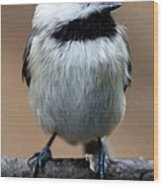 Carolina Chickadee Wood Print