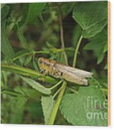 Carolina Locust Wood Print