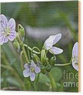 Carolina Spring Beauty - Wide-leaved Spring Beauty - Claytonia Caroliniana Wood Print