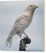 Carrion Crow, Mounted Albino Specimen Wood Print