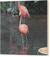 Cartoon - A Flamingo In The Small Lake In Their Exhibit In The Jurong Bird Park Wood Print