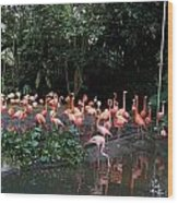 Cartoon - Flamingos In Their Exhibit Along With A Small Lake In The Jurong Bird Park Wood Print