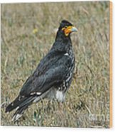 Carunculated Caracara Wood Print