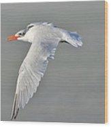 Caspian Tern In Flight Wood Print