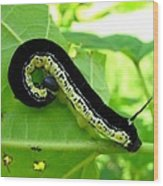 Catalapa Sphinx Caterpillar Wood Print