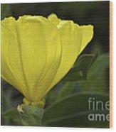 Catching Sunshine - Missouri Primrose Art Print Wood Print