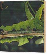 Caterpillar Tam Dao Np Vietnam Wood Print
