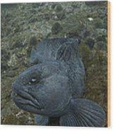 Catfish. Wood Print