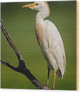 Cattle Egret On Stick Wood Print
