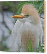 Cattle Egret Wood Print by Skip Willits