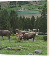 Cattle Grazing In The Pyrenees Wood Print