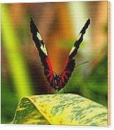 Cattleheart Butterfly  Wood Print