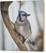 Cautious Blue Jay Wood Print
