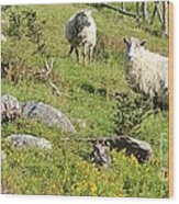 Cautious Sheep In The Pasture Wood Print
