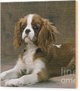 Cavalier King Charles Spaniel Dog Lying Wood Print