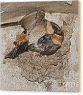 Cave Swallows Wood Print