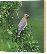 Cedar Waxwing 2 Wood Print