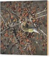 Cedar Waxwing Eating Berries 5 Wood Print