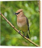 Cedar Waxwing Gathering Nesting Material Wood Print
