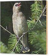 Cedar Waxwing Juvenile 2 Wood Print