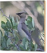 Cedar Waxwing On The Malheur National Forest Wood Print