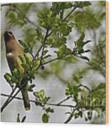 Cedar Waxwing Pictures 15 Wood Print