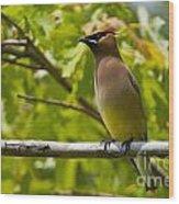 Cedar Waxwing Pictures 38 Wood Print