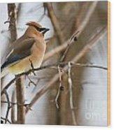 Cedar Waxwing Pictures 52 Wood Print