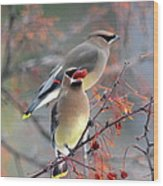 Cedar Waxwings Wood Print