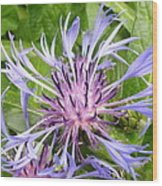 Centaurea Montana Blue Flower Wood Print