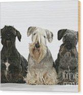 Cesky Terrier Dogs Wood Print