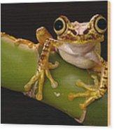 Chachi Tree Frog Ecuador Wood Print