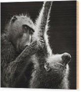 Chacma Baboons Grooming Wood Print