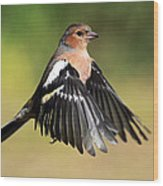 Chaffinch In Flight Wood Print